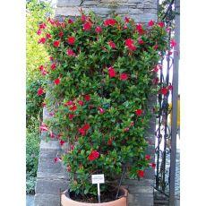 Mandevilla Dipladenia Kafes bambuda Kırmızı Çiçekli