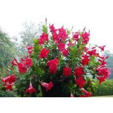 Mandevilla ÇİÇEĞİ SARMAŞIĞI Dipladenia FUŞYA Çiçekli