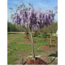 Mor Salkım Wisteria Sinensis Ağaç Formunda