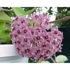 Mum Çiçeği Kokulu Askılı Saksıda Hoya Carnosa