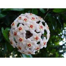 Mum Çiçeği Kokulu Hoya Carnosa