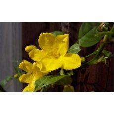 Yasemin Sarı Çiçekli jasminum Humile 80-100 Cm