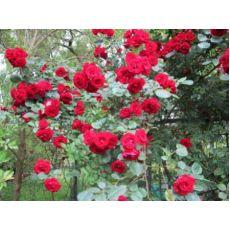 Sarmaşık Ponpon Gül Küçük Goncalı Gül Kırmızı Çiçekli