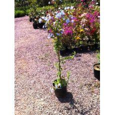 Yasemin Çiçeği Mavi Çiçekli 50-70 Cm
