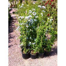 Yasemin Çiçeği Mavi Çiçekli 100-120 Cm
