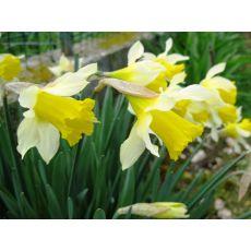 Nergis Çiçeği Narcissus pseudonarcissus