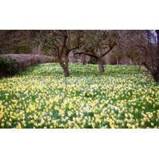 Nergis Çiçeği Narcissus pseudonarcissus 5 li dikim