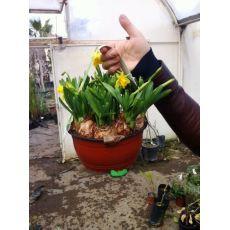 Nergis Çiçeği ithal Narcissus makreme Saksıda 12 Adet Soğanlı