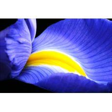 İris Çiçeği Soğanlı Bitki