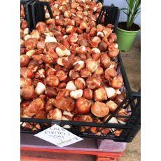 Lale Soğanı Kırmızı Sarı 1 Adet Fiyatıdır