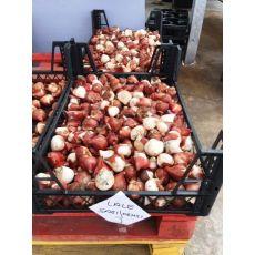Lale Soğanı Sarı Kırmızı 1 Adet Fiyatıdır