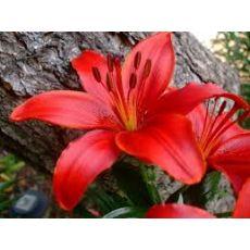 Zambak Lilyum Çiçeği Kırmızı Çiçekli Kokulu 30-40 Cm