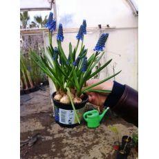 muskarin çiçeği İthal Saksıda 7 Adet Soğanlı