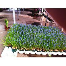 muskarin çiçeği İthal Saksıda 9 Adet Soğanlı
