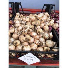 Sümbül Soğanı Beyaz Çiçekli Kokulu 1 Adet Soğan Fiyatıdır