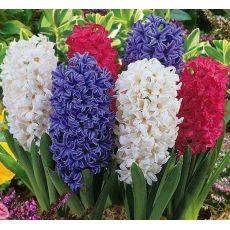Sümbül Çiçeği Kokulu Hyacinthus orientalis