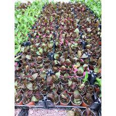 Tesbih Çiçeği Kanı Bordo Yapraklı Canna İndica 20-40 Cm