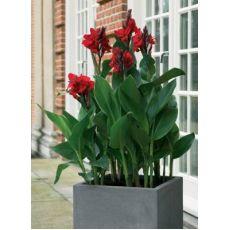 Tesbih Çiçeği Kanı Yeşil Yapraklı Canna İndica 50-70 Cm