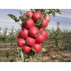 Elma Fidanı Yarı Bodur Starking
