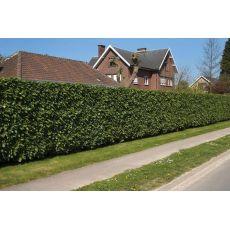 Karayemiş Laz Üzümü Prunus Laurocerasus 20-25 Cm