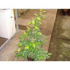 Ficus Regınald 50-70 Cm
