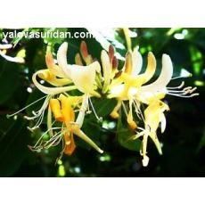 Hanımeli Sarmaşığı Fidanı Lonicera canadensis