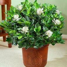 Gardenya Çiçeği Gardenia İthal 20-25 Cm Çapı