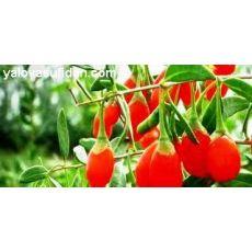 Goji Beery Fidanı Mutluluk Meyvesi Kurt Üzümü 30-50 Cm