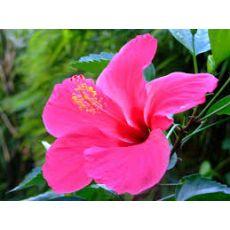 japon Gülü Pembe Çiçekli Hibiscus Rosa Chinensis