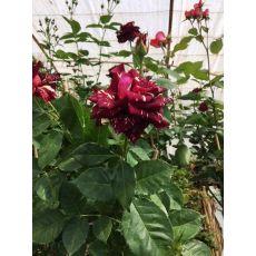 Baston Gül Standard Roses
