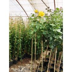 Baston Gül Standard Roses 140-160 Cm