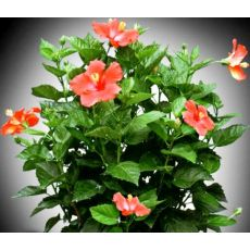 japon Gülü Kırmızı Çiçekli Hibiscus Rosa Chinensis