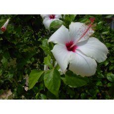 japon Gülü Beyaz Çiçekli Hibiscus Rosa Chinensis