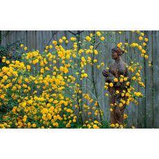 Kanarya Gülü Sarı Çiçekli Kerria Japonica