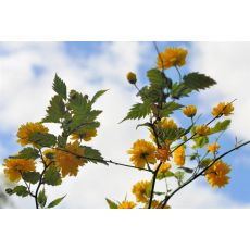 Kanarya Gülü Sarı Çiçekli Kerria Japonica 40-60  Cm