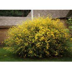 Kanarya Gülü Sarı Çiçekli Kerria Japonica 175-200 Cm