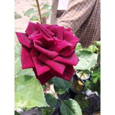 Yediveren Gül Bahçe gülü Bordo Renkli