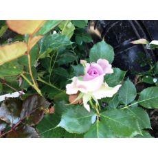 Yediveren Gül Fidanı Bahçe Gülü Lila Renkli