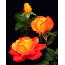 Yediveren Gül Fidanı Bahçe gülü Portakal Renkli