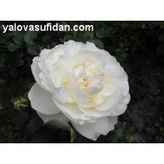 Meilland Gülü Mayland Beyaz Renkli