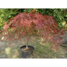 japon Akçaağacı İthal Acer Palmatum Dissectum Mezzo Fusto