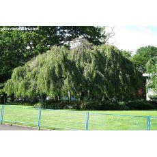 Huş Ağacı Fidanı Sarkık Betula Pendula