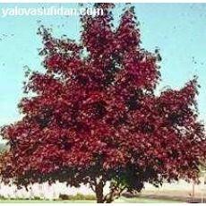 Krimson King Çınar Yapraklı Akçaagaç Tijli Acer platanoides Crimson King