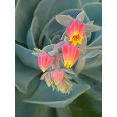 Aşkın Gözyaşları Çiçeği Ekeverya Echeveria Glauca Sukulent 16 Cm Çapı
