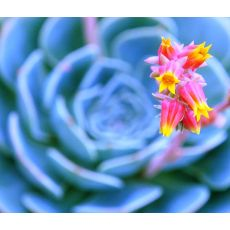 Aşkın Gözyaşları Çiçeği Ekeverya Echeveria Glauca Sukulent 20 Cm Çapı