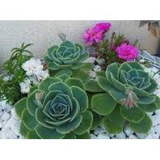 Aşkın Gözyaşları Çiçeği Ekeverya Echeveria Glauca Sukulent