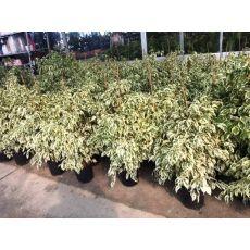 Benjamin Alaca Yapraklı  Ficus Benjamınna Staruguat