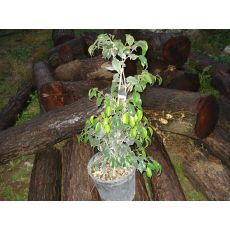 Benjamin Yeşil Ficus Benjaminına Exotica