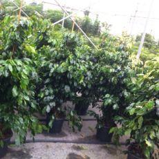 Benjamin Yeşil Ficus Benjaminına Exotica 140-150 Cm