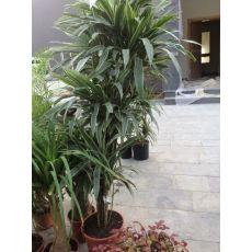 Dresena Çiçeği bitkisi İthal Dracaena Warneckii 150-175 Cm
